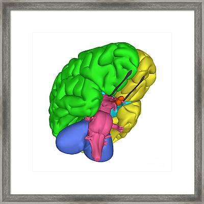 Brain Anatomy Framed Print by Friedrich Saurer