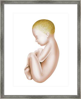 Foetus Framed Print by Asklepios Medical Atlas