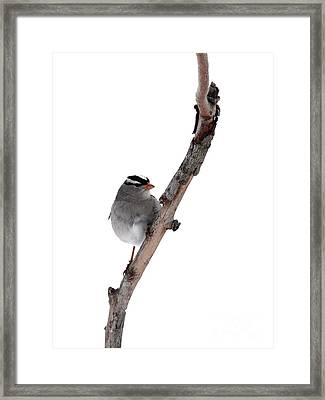 White-throated Sparrow Framed Print by Jack R Brock