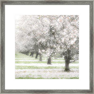 Almond Orchard Framed Print by Carol Leigh