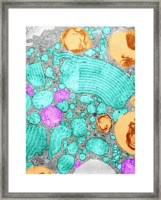 Alveolar Cell Framed Print by Marian Miller