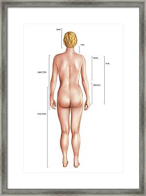 Anatomical Differences Between Sexes Framed Print by Asklepios Medical Atlas