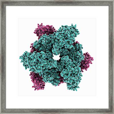 Atp Sulfurylase Molecule Framed Print by Laguna Design