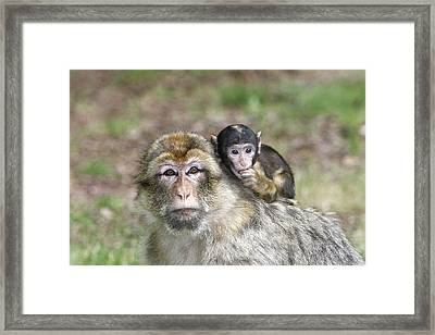 Barbary Macaques Framed Print by M. Watson