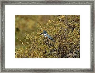 Belted Kingfisher With Fish Framed Print by Anthony Mercieca