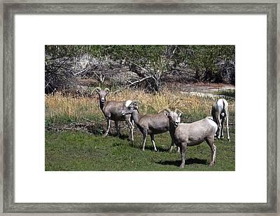 3 Bighorn Sheep In A Row Framed Print by Renee Sinatra