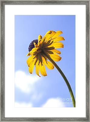 Black-eyed Susan Framed Print by Tony Cordoza