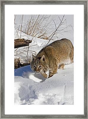 Bobcat Framed Print by Linda Freshwaters Arndt