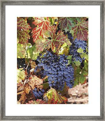Cabernet Sauvignon Grapes In Vineyard Framed Print by Panoramic Images