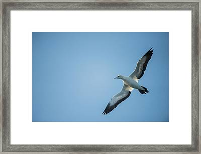 Cape Gannet (morus Capensis Framed Print by Pete Oxford