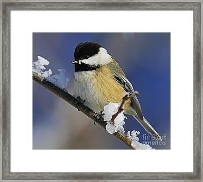 Winter Chickadee... Framed Print by Nina Stavlund