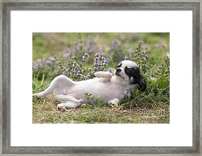 Chihuahua Puppy Dog Framed Print by Jean-Michel Labat
