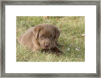 Chocolate Labrador Puppy Framed Print by Linda Freshwaters Arndt