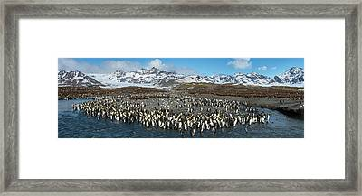 Colony Of King Penguins Aptenodytes Framed Print by Panoramic Images