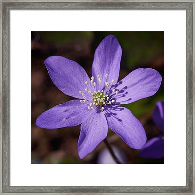 Common Hepatica Framed Print by Jouko Lehto