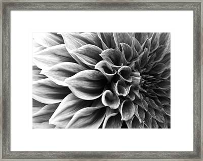 Dahlia Flower Framed Print by Sumit Mehndiratta