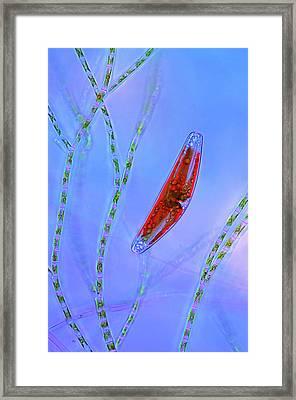 Diatom And Green Algae Framed Print by Marek Mis