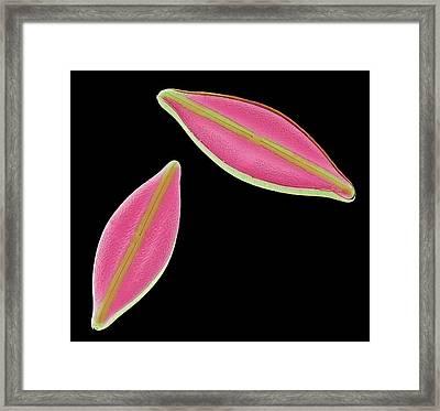 Diatoms Framed Print by Steve Gschmeissner