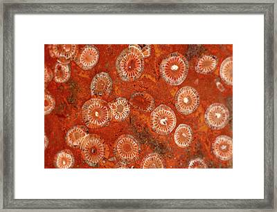 Diphyphyllum Concinnum Framed Print by Natural History Museum, London