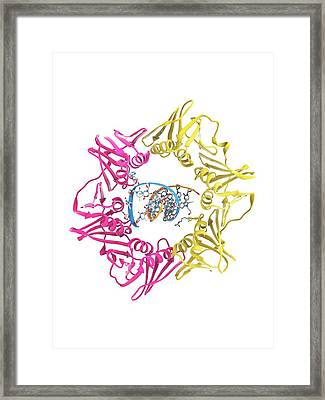 Dna Clamp And Dna Framed Print by Ramon Andrade 3dciencia