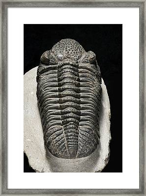 Drotops Megalomanicus Trilobite Fossil Framed Print by Lawrence Lawry
