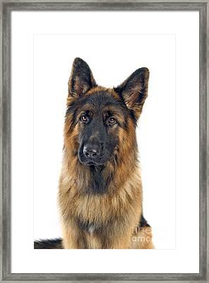 German Shepherd Framed Print by Viktor Pravdica