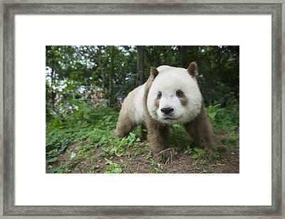 Giant Panda Brown Morph China Framed Print by Katherine Feng