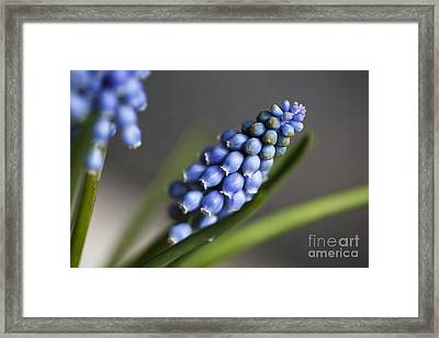 Grape Hyacinth Framed Print by Nailia Schwarz