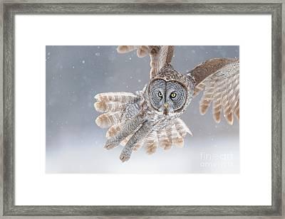 Great Grey Owl Framed Print by Scott Linstead