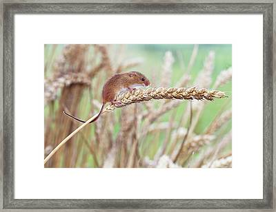 Harvest Mouse On Wheat Framed Print by John Devries