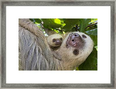 Hoffmanns Two-toed Sloth And Old Baby Framed Print by Suzi Eszterhas