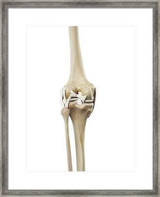 Human Knee Ligaments Framed Print by Sciepro
