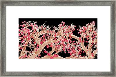 Kidney Blood Vessels Framed Print by Susumu Nishinaga