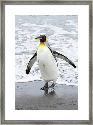 King Penguins Emerge From A Fishing Trip Framed Print by Ashley Cooper