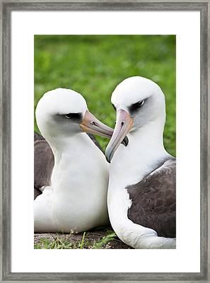 Laysan Albatross (phoebastria Framed Print by Daisy Gilardini