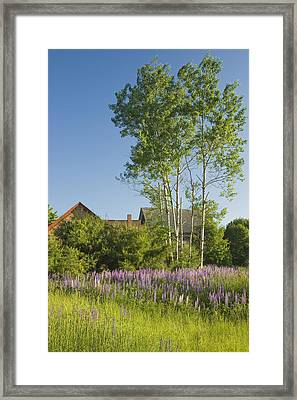 Maine Wild Lupine Flowers Framed Print by Keith Webber Jr