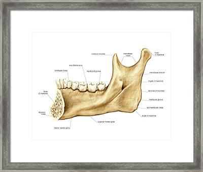 Mandible Framed Print by Asklepios Medical Atlas