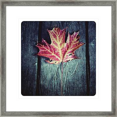 Maple Leaf Framed Print by Natasha Marco