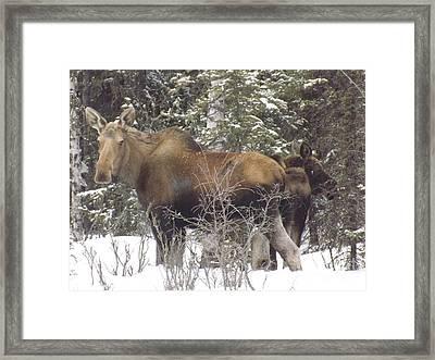 Moose Framed Print by Jennifer Kimberly
