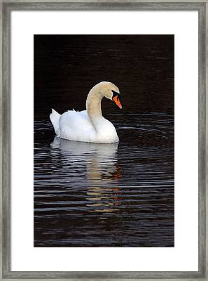 Mute Swan Framed Print by Jim Nelson