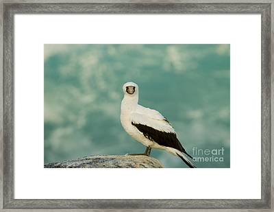Nazca Booby Framed Print by William H. Mullins
