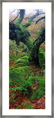 Oak Trees In A Forest, Wistmans Wood Framed Print by Panoramic Images