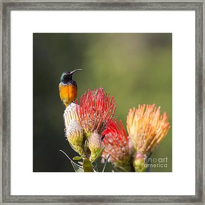 Orange-breasted Sunbird Framed Print by Jean-Luc Baron