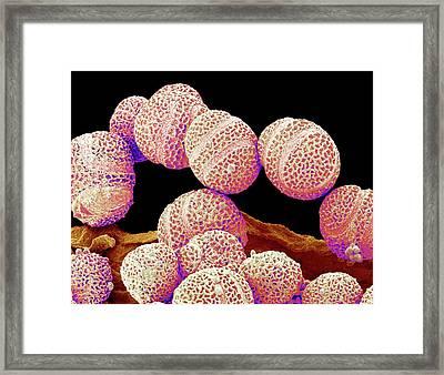 Passion Flower Pollen Framed Print by Susumu Nishinaga