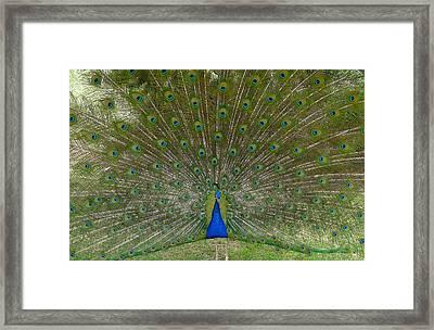 Peacock In Full Bloom Framed Print by Denise Mazzocco