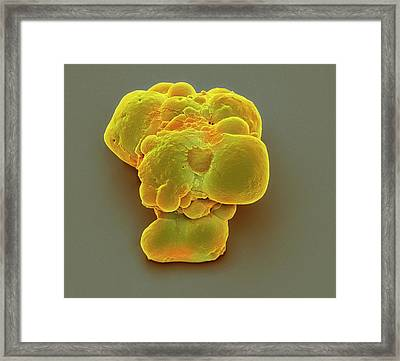 Pluripotent Stem Cells Framed Print by Steve Gschmeissner