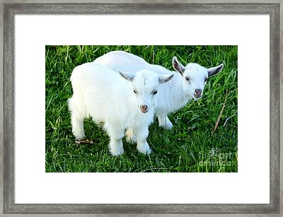 Pygmy Goat Twins Framed Print by Thomas R Fletcher