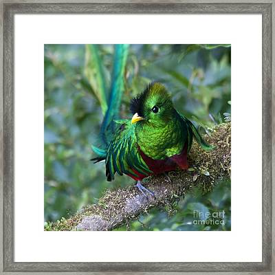 Quetzal Framed Print by Heiko Koehrer-Wagner