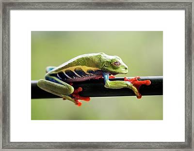 Red-eyed Tree Frog Framed Print by Nicolas Reusens