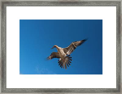 Red-footed Booby (sula Sula Websteri Framed Print by Pete Oxford